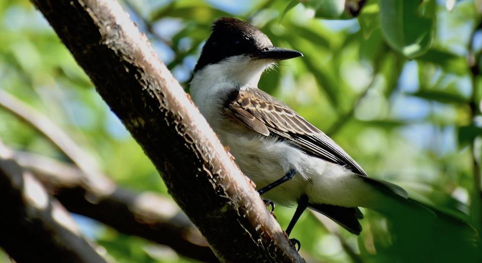 Tyrannus caudifasciatus Baracoa Eastern Cuba Birding Oiseaux Birdwatching Ornithologie Aves Pajareo