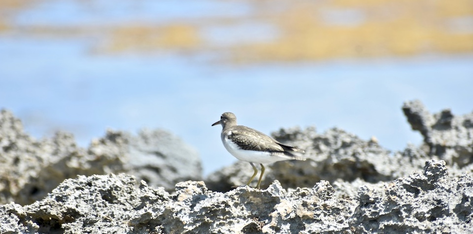 Actitis macularius Baracoa Eastern Cuba Birding Ornithologie Birdwatching Oiseaux Aves