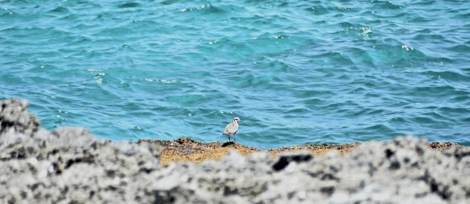 Pluvialis squatarola Baracoa Eastern Cuba Birding Oiseaux Birdwatching Ornithologie Aves