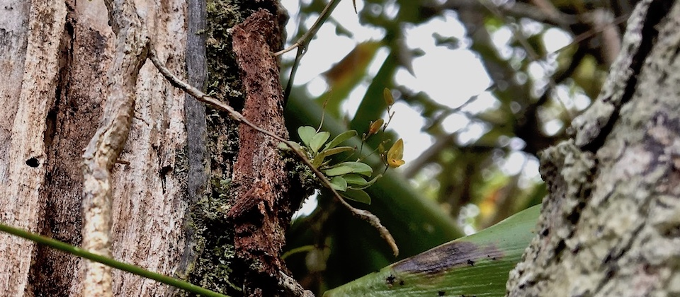 Specklinia grisebachiana Orchid Ochidée Baracoa Cuba