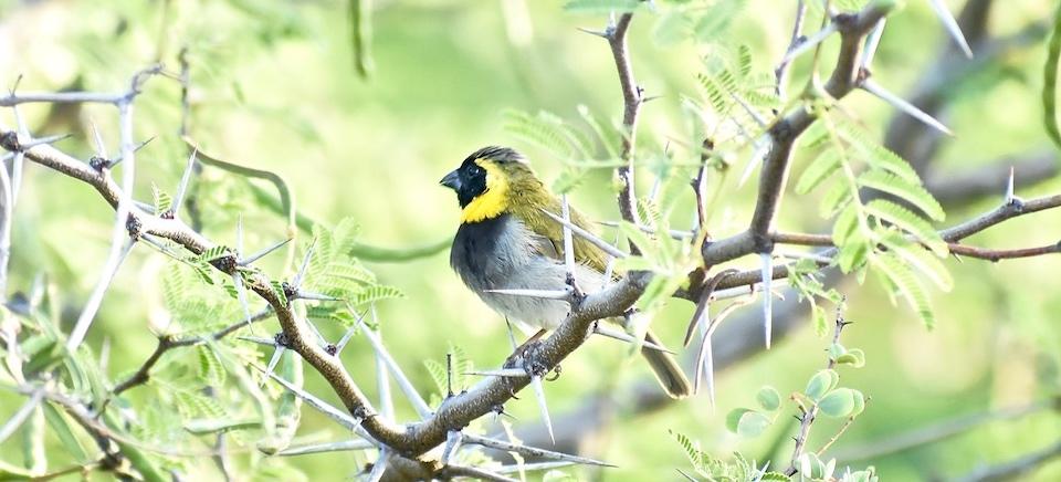 Phonipara canora Eastern Cuba Birding Oiseaux Birdwatching Ornithologie Aves