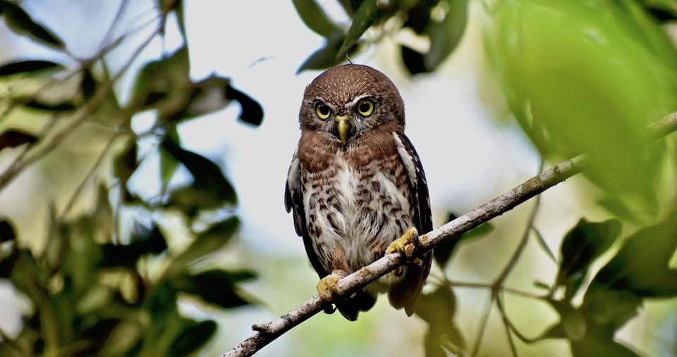 Glaucidium siju Baracoa Eastern Cuba Birding Oiseaux Birdwatching Ornithologie Aves Pajareo Pajarear