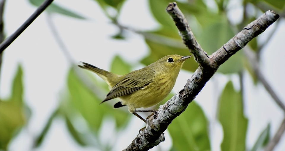 Setophaga petechia Baracoa Eastern Cuba Birding Birdwatching Oiseaux Ornithologie Aves Pajarear