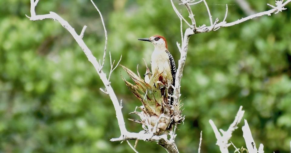 Melanerpes superciliaris Birding Baracoa Eastern Cuba Birdwatching Pajareo Oiseaux Ornithologie