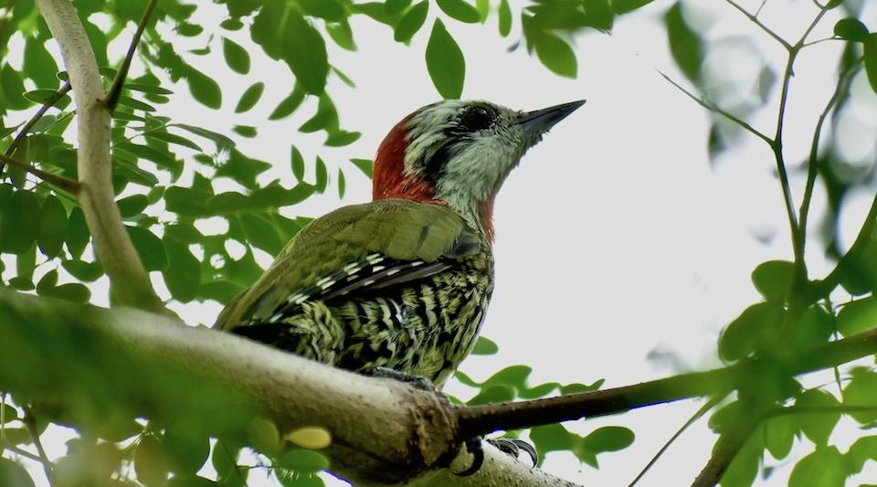 Xiphidiopicus percusssus Baracoa Eastern Cuba Oiseaux Birding Ornithologie Birdwatching Aves Pajareo