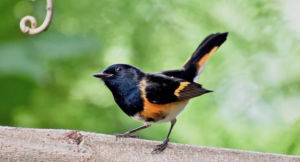 Setophaga ruticilla Villa Paradiso Baracoa Cuba Birding Birdwatching Oiseaux Ornithologie Aves Pajareo