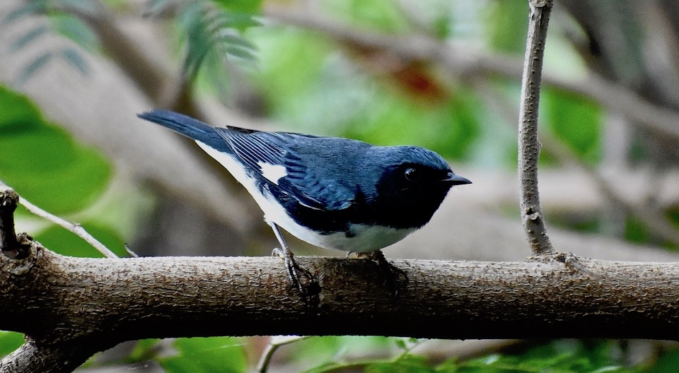 Setophaga caerulescens Villa Paradiso Baracoa Cuba Birdwatching Ornithologie Birding Oiseaux Aves Pajareo