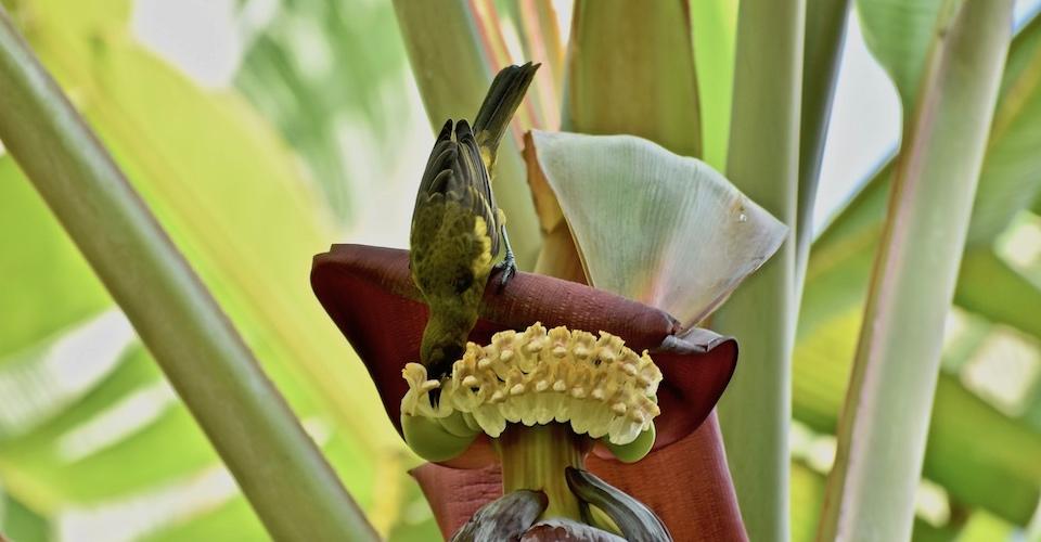 Icterus melanopsis Birding Baracoa Eastern Cuba Birdwatching Pajareo Oiseaux Ornithologie