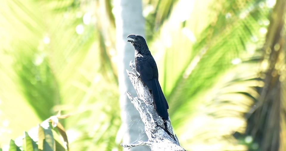 Crotophaga ani Birding Baracoa Eastern Cuba Birdwatching Pajareo Oiseaux Ornithologie Aves