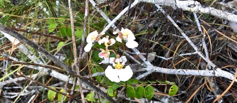 Tolumnia sylvestre Orchid Orchidée Baracoa Cuba