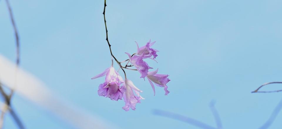 Broughtonia lindenii Orchid Orchidée Baracoa Cuba