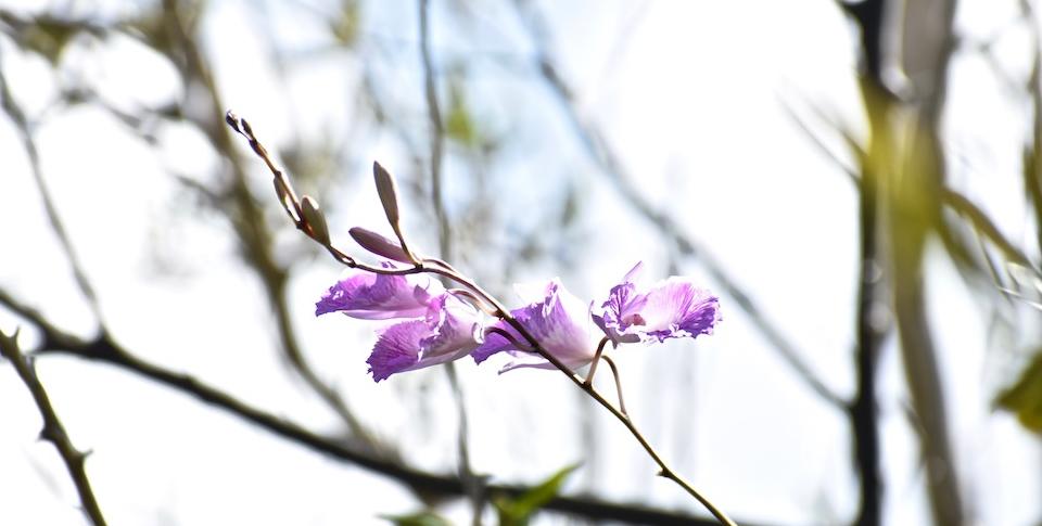 Cuba Orchid Orchidée Orquídea Broughtonia lindenii • Baracoa