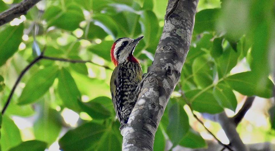 Cuban Green Woodpecker • Baracoa Eastern Cuba • Xiphidiopicus percussus • Pic poignardé