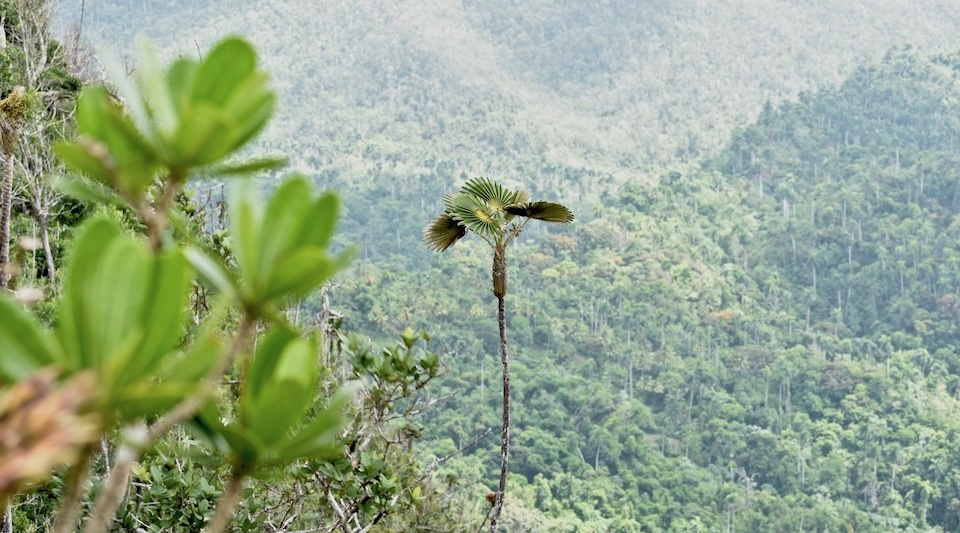 Coccothrinax yunquensis El Yunque Baracoa Cuba • Hiking Randonnée Senderismo