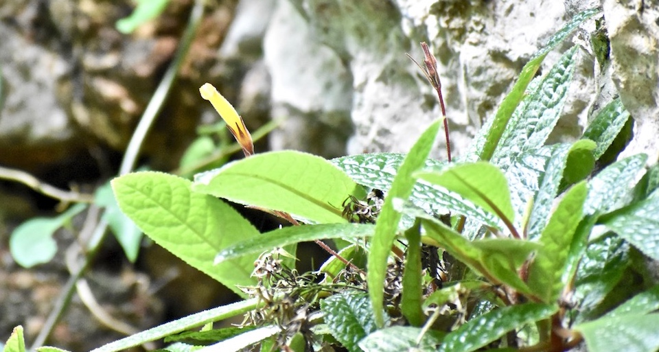 Gesneria glandulosa El Yunque Baracoa Cuba • Hiking Randonnée Senderismo