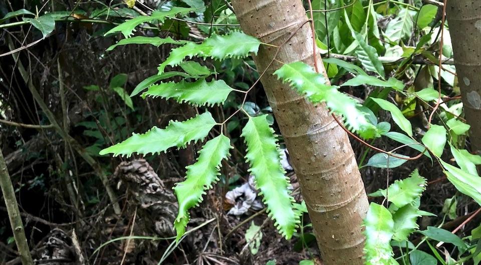Lygodium volubile El Yunque Baracoa Cuba • Randonnée Senderismo Hiking