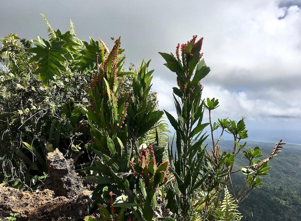 Phyllanthus epiphyllanthus • Tropical Karst • El Yunque • Baracoa Eastern Cuba