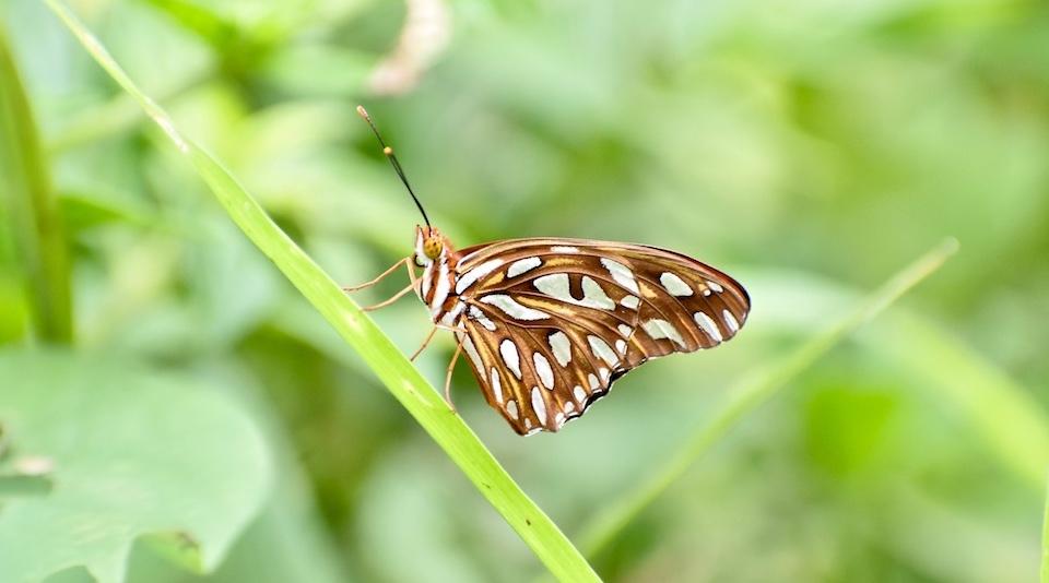 Cuba Butterflies • Agraulis vanillae • Baracoa