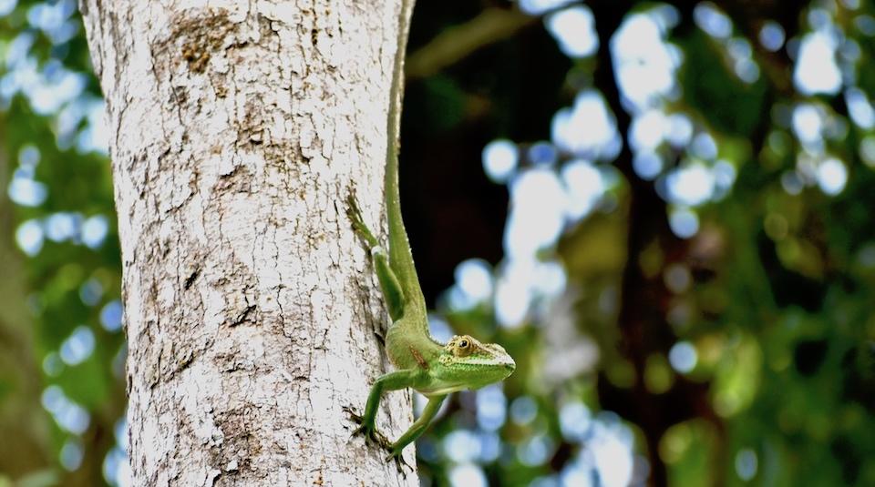 Saltacocote (Anolis baracoae) • El Yunque • Baracoa Eastern Cuba