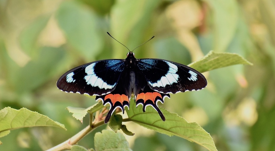 Cuba Butterflies Parides gundlachianus