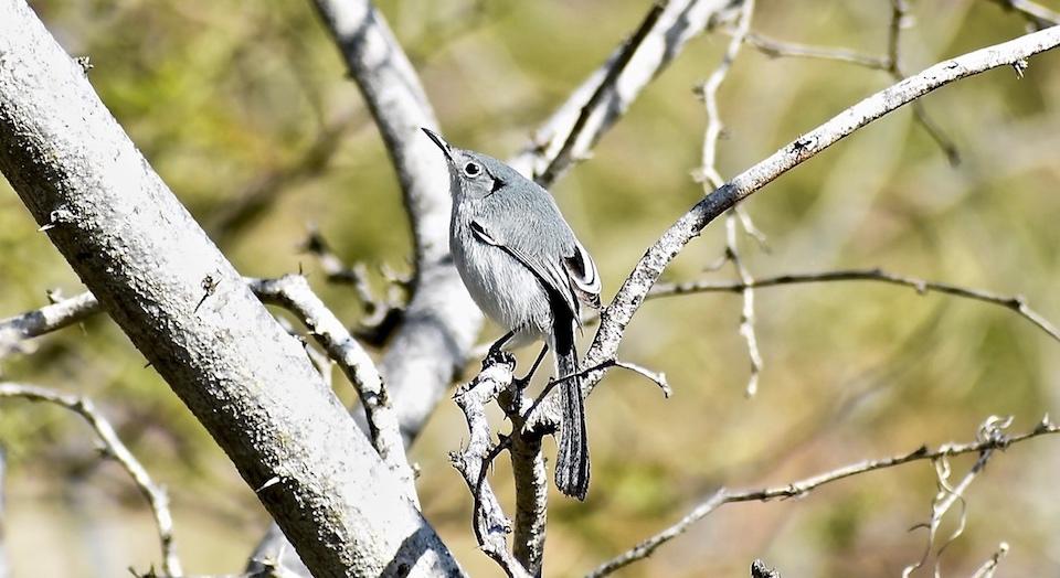 Cuban Gnatcatcher • Gobemoucheron de Cuba • Polioptila lembeyei • Birding Birdwatching Ornithologie