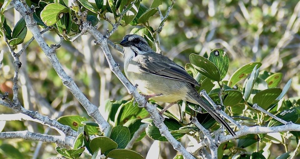 Zapata Sparrow • Torreornis inexpectata sigmani • Bruant de Zapata • Eastern Cuba • Birding Birdwatching Ornithologie