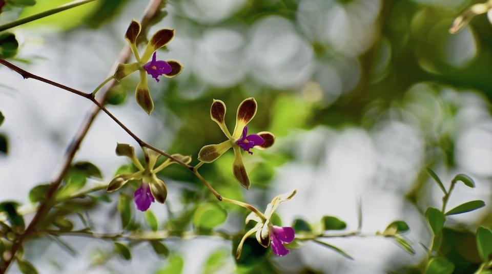 Encyclia howardii • Orchid Orchidée Orquídea • Baracoa Eastern Cuba