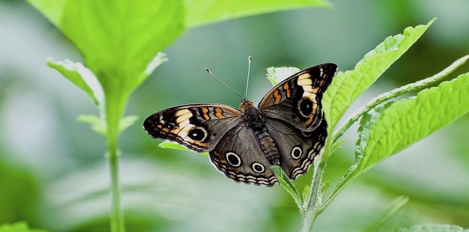Junonia zonalis • Butterflies • Mariposas • Papillons • Baracoa Cuba