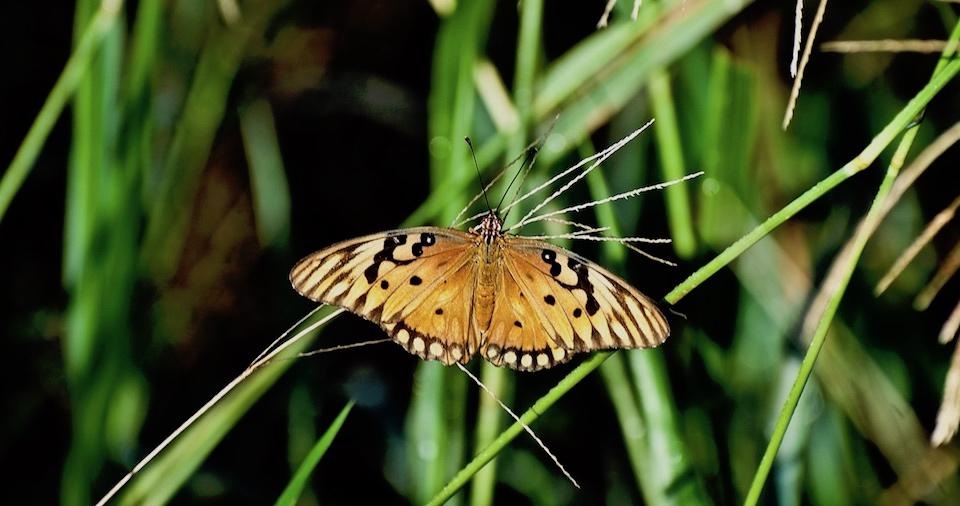 Agraulis vanillae • Butterflies • Papillon • Mariposas • Baracoa Cuba
