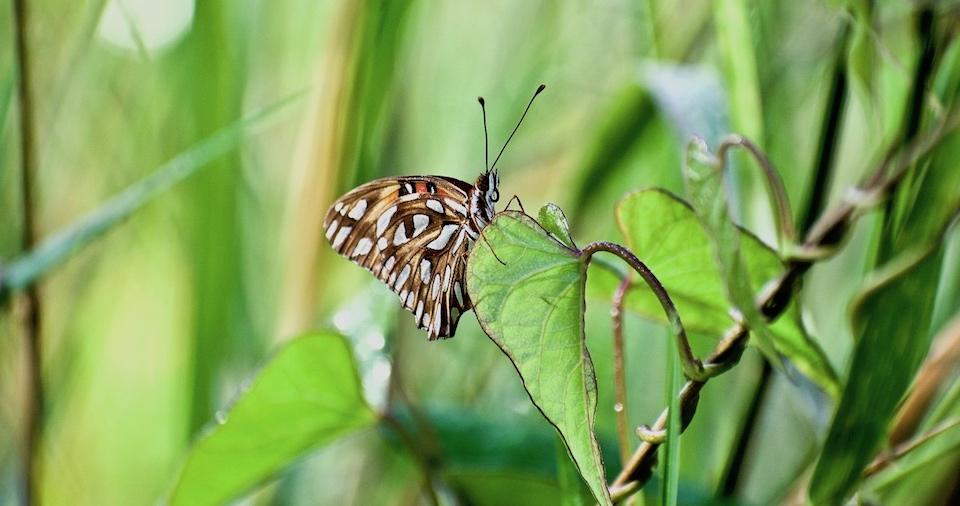 Agraulis vanillae • Butterflies • Papillons • Mariposas • Baracoa Cuba