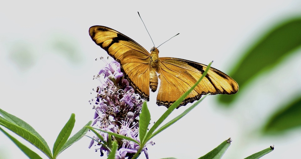Dryas iulia nudeola • Butterflies • Papillons • Baracoa Cuba