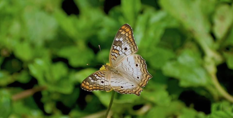 Anartia jatrophae guantanamo • Butterflies • Papillons • Baracoa Cuba
