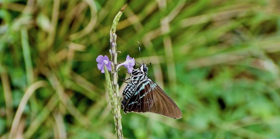 Phocides pigmalion batabano • Butterflies • Papillons • Baracoa Cuba