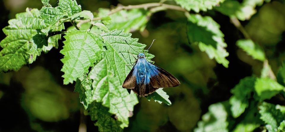 Telegonus xagua xagua • Butterflies • Papillons • Baracoa Cuba