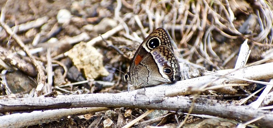 Calisto dissimulatum • Butterflies • Papillons • Baracoa Cuba