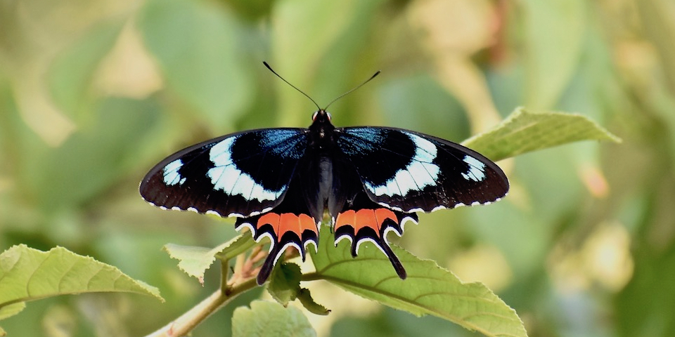 Parides gundlachianus • Butterflies • Papillons • Baracoa Cuba
