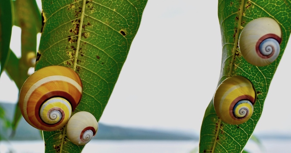 Polymita picta roseolimbata • Baracoa Cuba