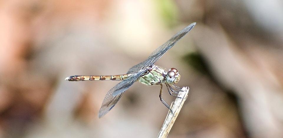 Dragonfly • Libellule • Baracoa Cuba