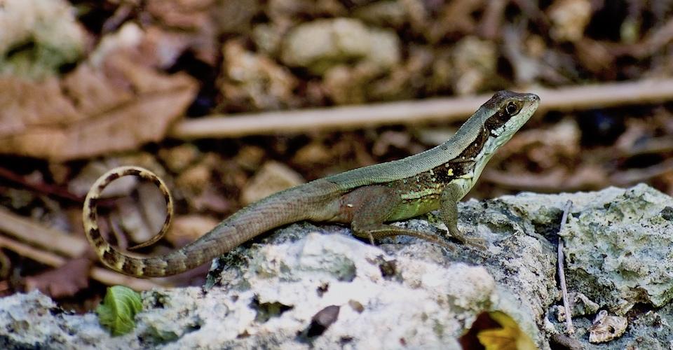 Leiocephalus macropus • Herping • Baracoa Cuba